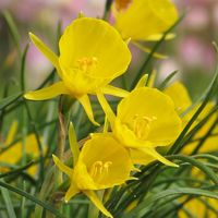 Narcissus bulbocodium Breeders selection